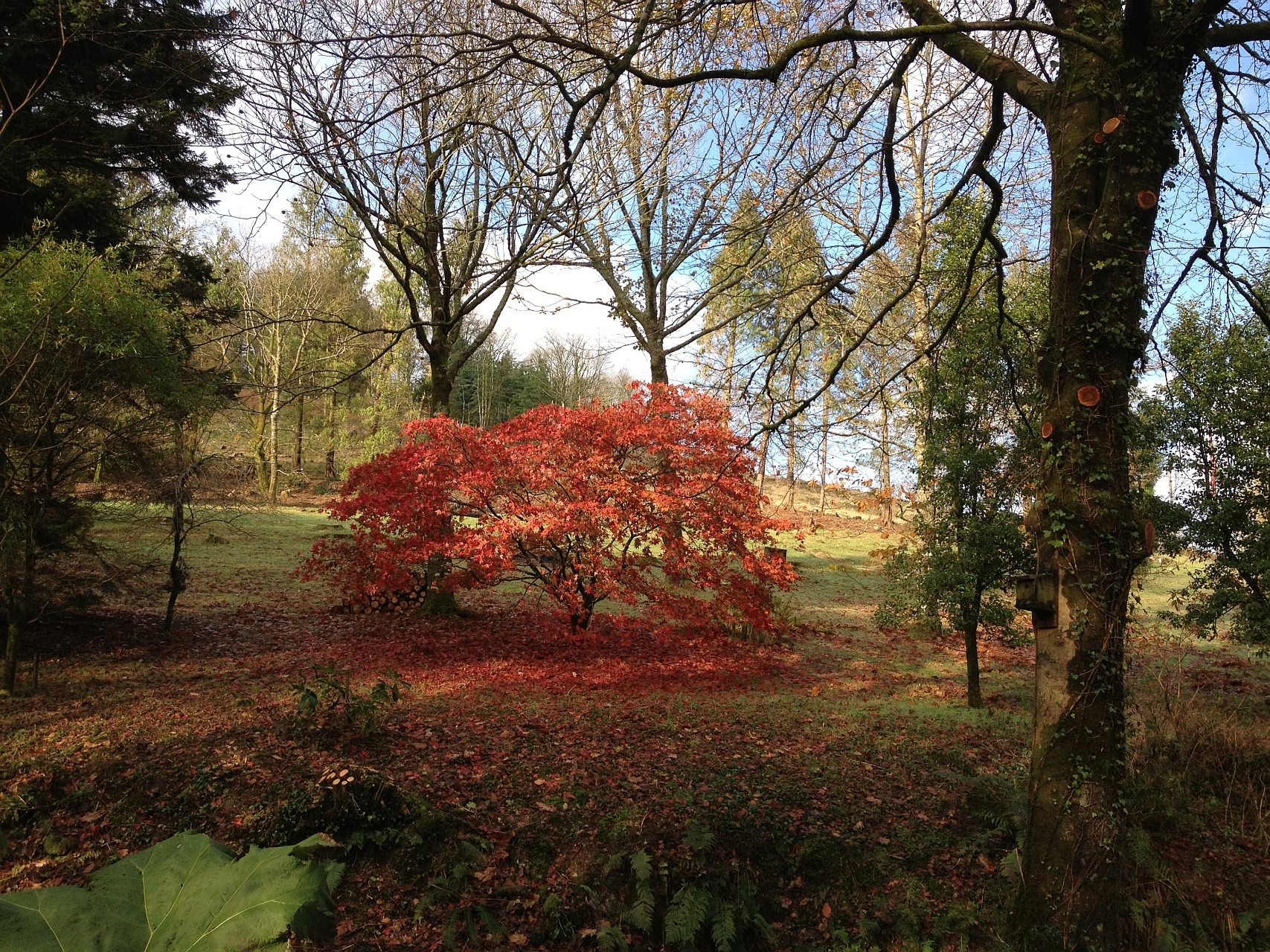 Japanese Maple 'Septemlobum' in Autumn