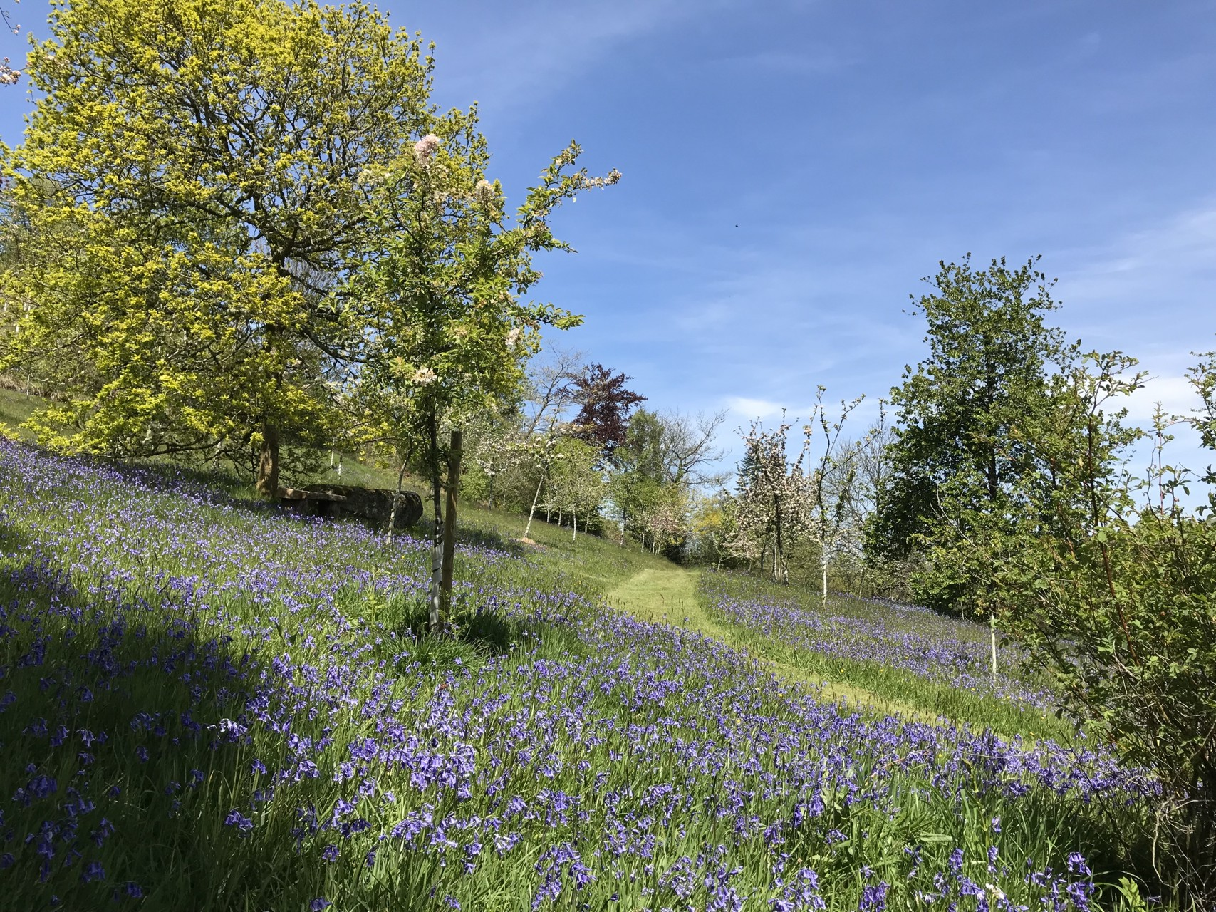 Bluebells in the Orchard