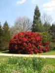 rhododendron-orestes-1523-2