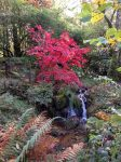 'Bloodgood' Maple and Waterfall