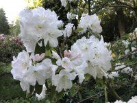 Rhododendron 'Mrs A.T. de la Mare'