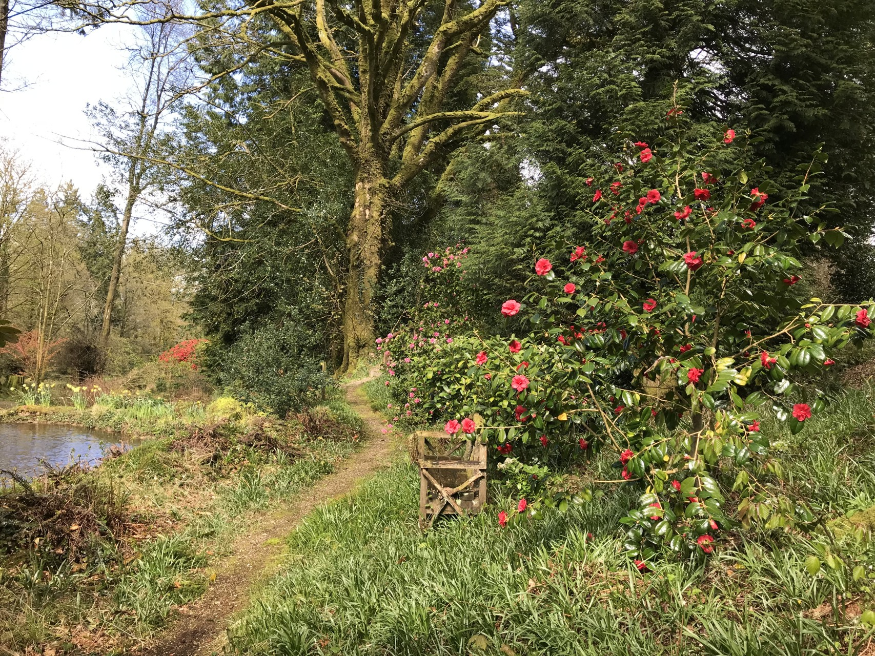 Camellias by Duck Pond
