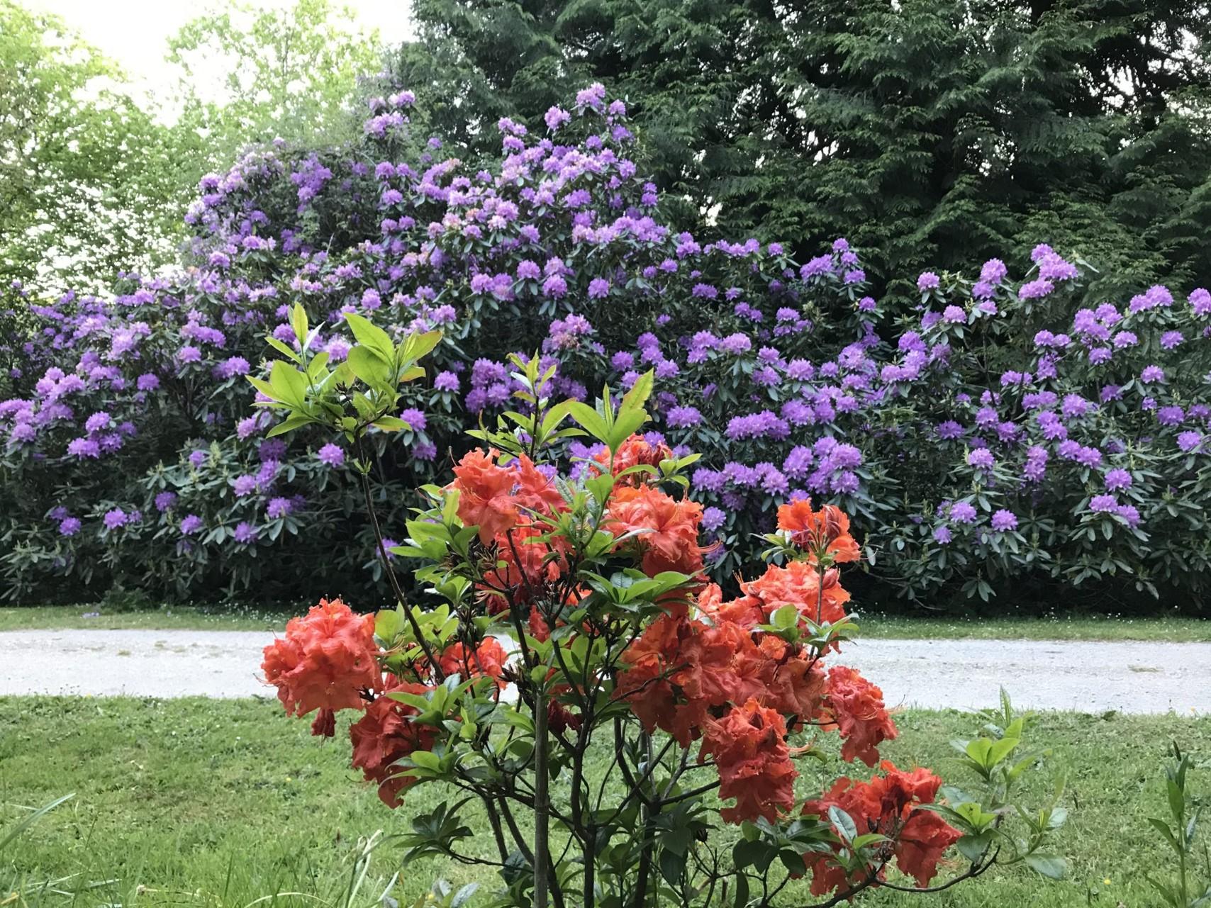 Big Mauve Rhododendron and Small Orange Azalea
