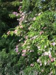 Flowering Dogwood 'Porlock'