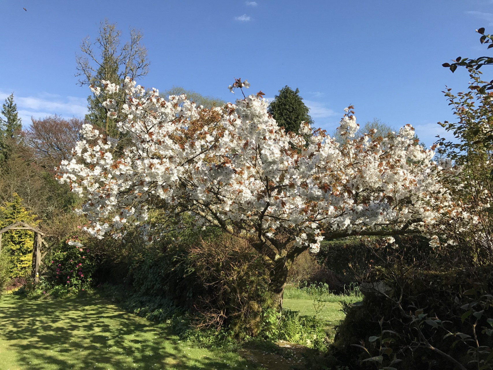 The 'Great White Cherry'