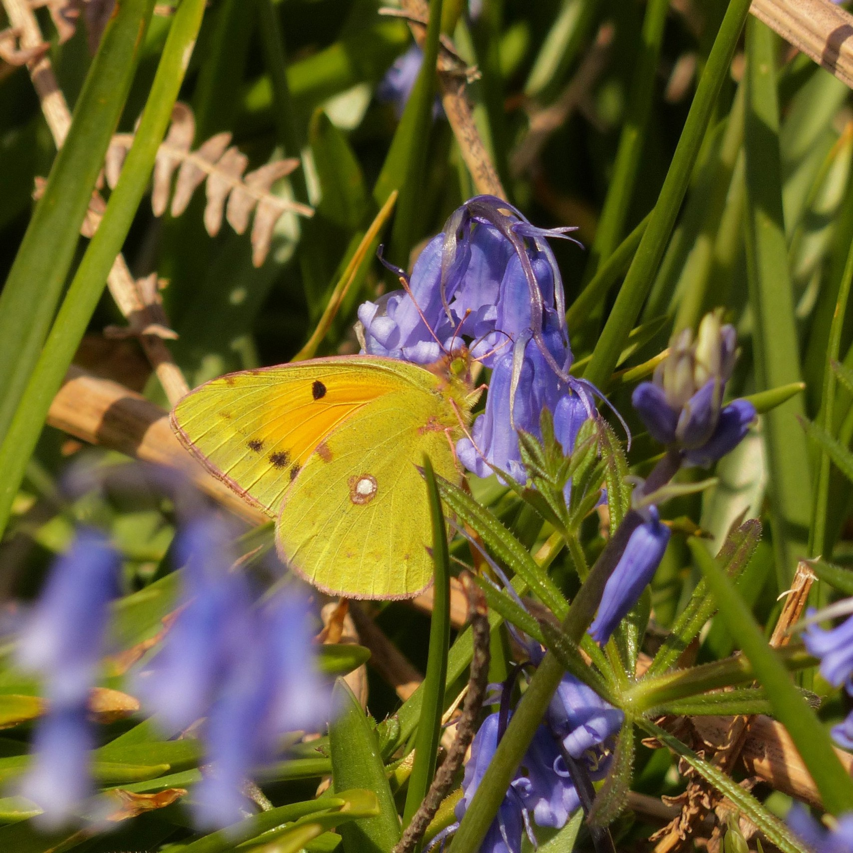 a-clouded-yellow-butterfly