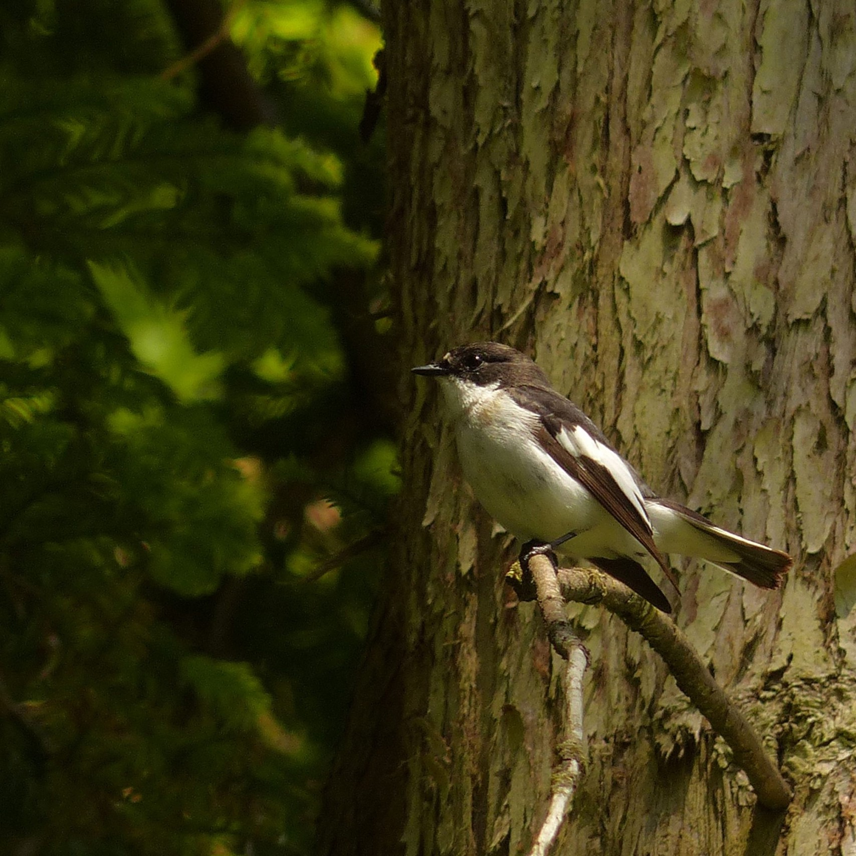 a-male-pied-flycatcher