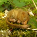 dormouse-at-heathercombe-may-2020